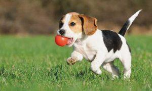 Cachorro Como iniciar Dieta BARF