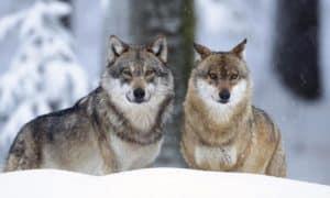 Lobos---ayuno-en-los-perros